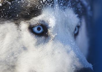 ojos huskys copia
