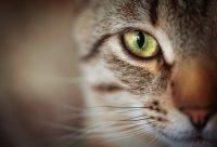 Gato marrón con ojos verdes