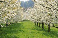 Bosque de cerezos